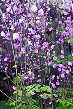 I love my Thalictrum Delavayi at lot right now.not only did it look gorgeous in bloom, but the dead flower stems are giving structure to my autumn garden too. Beautiful Gardens, Beautiful Flowers, Gazebos, Purple Plants, Purple Flowers, Flower Landscape, Garden Photos, Plantation, Shade Garden