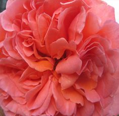 Coral Garden Rose free spirit rose from south americamy favorite!! | floral