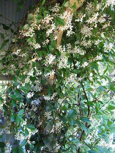Star Jasmine.  Bettern than Confederate Jasmine.  Blooms more, smells like Gardenias.