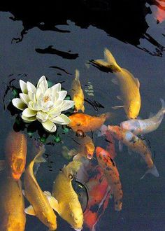 Koi keeping is quickly becoming a very popular hobby in America. Koi are beautiful, vibrant fish that can literally light your day. Koi come in many colors, Koi Fish Pond, Koi Carp, Fish Ponds, Fish Fish, Hi Utsuri, Diy Pond, Alphonse Mucha, Beautiful Fish, Beautiful Flowers