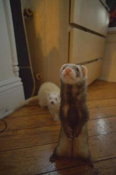 Ferrets can stand on their own two feet.