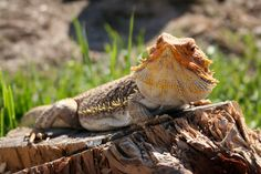 Bearded Dragon Care Tips for Summer – Caring for your bearded dragon during the hot summer months can pose some unique challenges compared to the rest of the year. Since bearded dragons live in warm temperatures and low humidity in the wild, … Reptiles, Mammals, Lizards, Snakes, Bearded Dragon Cage, Pet Dragon, Beard Love, Awesome Beards, Best Diets