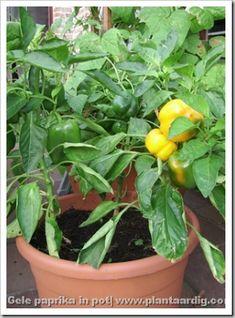 Paprika op het terras (Serie groenten in potten, deel 13) - GroentenInfo