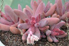 crassulaceae-x-pachysedum--ganzhou-3.jpg 800×532 pixels