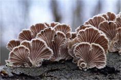 I keep hoping to see these beautiful 'Sea shell' mushrooms on sale here in China, so far no luck.