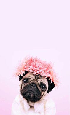 tiktok duvar kad 17 Pictures Confirming That Pugs Love Pink Color Cute Dog Wallpaper, Dog Wallpaper Iphone, Animal Wallpaper, Puppies Wallpaper, Iphone Backgrounds, Screen Wallpaper, Iphone Wallpapers, Wallpaper Backgrounds, Amor Pug