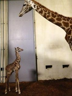Baby giraffe named Kiko...Greenville zoo. I watched his birth!!! 10/22/12