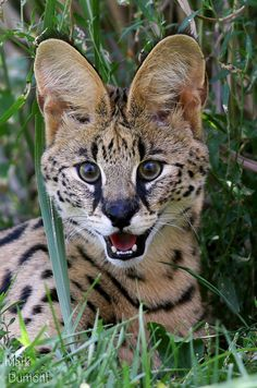 7 month old serval cat. It is a medium-sized African wild cat native to sub-Saharan Africa. by Mark Dumont