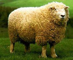 Devon Closewool Baby Sheep, Sheep And Lamb, Farm Animals, Animals And Pets, Cute Animals, Sheep Breeds, Sheep Art, Good Bones, The Shepherd