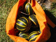 Souties Squash - great growing & tasting variety of fall squash (from South Africa?)