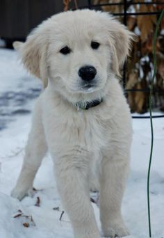 White Golden Retriever Puppy and snow. Cute Puppy Breeds, Cute Puppies, Dog Breeds, Cute Dogs, Dogs And Puppies, Fluffy Puppies, Doggies, English Creme Golden Retriever, White Golden Retriever Puppy