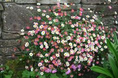 Mexican fleabane Erigeron karvinskianus (30cm high) - Goes well with intense blue grass and lavender