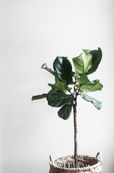 """How to Care for Fiddle-Leaf Fig """"Ficus Lyrata"""" - Plant of the Week - Apartment Gardening Savvity Ficus Lyrata, Ficus Elastica, Feng Shui, Large Indoor Plants, Outdoor Plants, Vida Natural, Fiddle Leaf Fig Tree, Fiddle Fig, Plantation"""