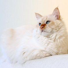 Good Morning, dear Furrends ☀️ 〰〰〰 #cutecat #fluffy_n_adorable #kitty #fusagattini #instacat_meows #cat #cats #cats_of_instagram #bestmeow #meowbox #catoftheday #thecatawards #my_loving_pet #nevamasquerade #siberiancat #siberian_cats_lovers #excellent_cats #nature_cuties #animaladdicts #katt #kattunge #catstocker #magnificent_meowdels #igcats #meow_beauties #topcatphoto #cat_features #exclusive_cats #pleasantcats #balousfriends