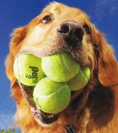 Augie the Golden Retriever holds the world record for fitting the most tennis balls in his mouth (5!!)