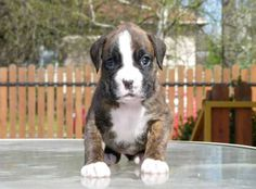 Baby Funny Great Dane Boxer Mix Puppies