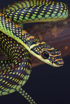 The Paradise Flying Snake (Chrysopelea paradise) of Southeast Asia Kinds Of Snakes, Spiders And Snakes, Cool Snakes, Colorful Snakes, Cute Reptiles, Reptiles And Amphibians, Mammals, Beautiful Creatures, Animals Beautiful