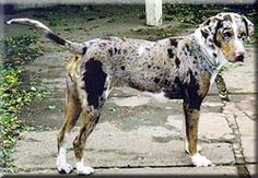 catahoula leopard dog | Catahoula Leopard Dog Breed Information and Pictures - Dooziedog.com
