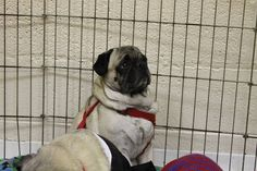 Thomas is an available pug at Pug Rescue Network in Michigan