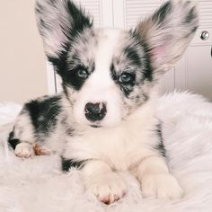 Sorry about your brand new rug mahm 🤷🏻♀️💩 - Blue Merle Cardigan Corgis - Welsh Corgi Puppies, Best Puppies, Cute Puppies, Cute Dogs, Dogs And Puppies, Blue Merle Corgi, Animals And Pets, Baby Animals, Super Cute Animals
