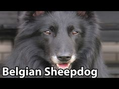 The Right Companion: Belgian Sheepdog - YouTube