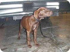 Naples, FL - Labrador Retriever Mix. Meet ELVIS, a dog for adoption. http://www.adoptapet.com/pet/18283608-naples-florida-labrador-retriever-mix