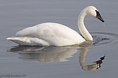 There are three species of swans in North America. Description from trumpeterswansociety.org. I searched for this on bing.com/images
