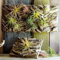 Found driftwood nailed onto plank for wall garden staghorn ferns