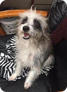 Phoenix, AZ - Poodle (Miniature)/Terrier (Unknown Type, Medium) Mix. Meet Ruby, a dog for adoption. http://www.adoptapet.com/pet/17262698-phoenix-arizona-poodle-miniature-mix