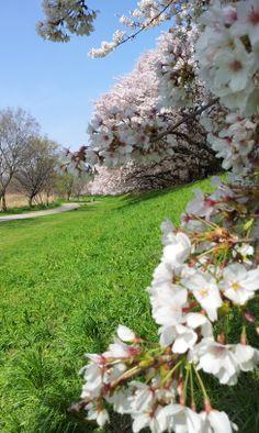 Cherry blossoms in full bloom, Sewaritei - Yawata City, Kyoto, japan