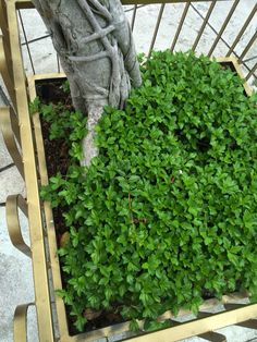 Ground cover in potted tree