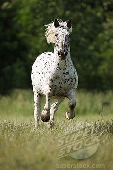 Noriker an Austrian horse - galloping in meadow