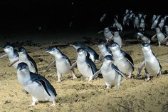 Phillips Island, Victoria Australia.  AN EXPERIENCE to watch the smallest penguins in the world tumble out of the water at sunset, waddle up the beach to their nests...Adorable and awe-inspiring.