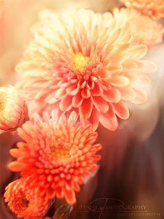 Chrysanthemum by selinmarsou.deviantart.com on @deviantART