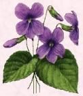Medicinally, violet is a gentle but potent remedy. It is classified as an alterative (or blood purifier), which means it helps the body restore optimal functioning by aiding metabolic processes, especially the elimination of waste products. Psoriasis Diet, Psoriasis Remedies, Herbal Remedies, Healing Herbs, Medicinal Plants, Natural Medicine, Herbal Medicine, Natural Cures, Natural Healing