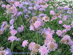 "Pincushion Flower 'Pink Mist'. Scabiosa. 12-18"" tall. Blooms June-September."
