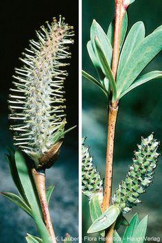 Salix purpurea 'Gracilis' - Uráli csigolyafűz