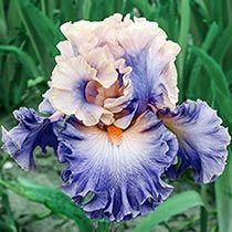 Photogenic Bearded Iris