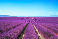 Lavender flower fields stock photo