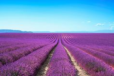#Shutterstock's 15 Most #Viral Images of 2015 - #Photography #Photos #Imagery #Social - Lavender flower fields stock photo