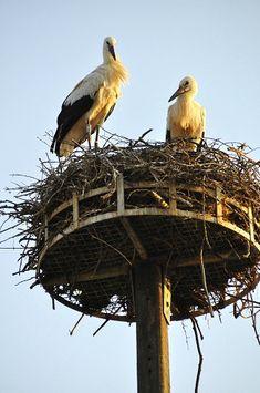 Cigognes (storks), Alsace, France