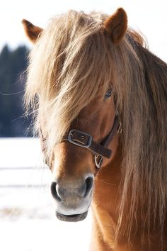 Suomenhevonen Beautiful Horses, Animals Beautiful, Animals And Pets, Cute Animals, Types Of Horses, Pony Horse, Lovely Creatures, Draft Horses, Horse Love