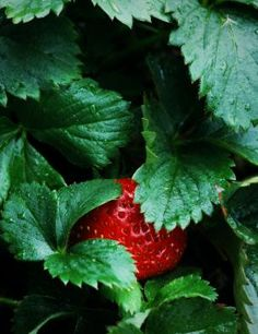 Strawberry Plants- Growing and Fertilizing tips... use 10-10-10 fertilizer, compost too.