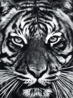 """Find the latest shows, biography, and artworks for sale by Robert Longo. Robert Longo burst onto the New York art scene as a brash with """"Men in t… Tiger Drawing, Tiger Art, Tigre Tattoo, Tres Belle Photo, Charcoal Art, Charcoal Drawings, Desenho Tattoo, New York Art, Hyperrealism"""