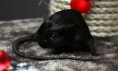 Amazing black mouse Cute Rats, Cute Funny Animals, Black Animals, Animals And Pets, Small Animals, Les Rats, Black Rat, Dumbo Rat, Mouse Color