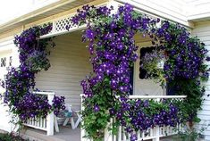 Several Jackmanii clematis put on a fabulous front porch show.