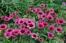 Echinea fatal attraction -  'Fatal Attraction'   Like the dark stems on this Echinea..   'Fatal Attraction'is an upright perennial with toothed, dark green leaves and purple-pink flowers surrounding a brown cone in midsummer to mid-autumn. Echinacea purpurea 'Fatal Attraction' is: Deciduous Flower: Bright-pink, Reddish-purple in Summer; Reddish-purple, Bright-pink in Autumn Foliage: Dark-green in Spring; Dark-green in Summer; Dark-green in Autumn Habit: Clump-forming, Upright