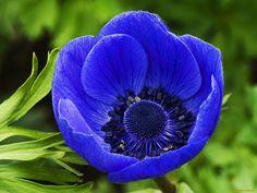 анемона, цветы, анемоны, адонисы, синий, крупно