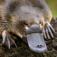 Another poisonous local Tasmania, Wyoming, Brown Bear, Wildlife, Cute Animals, Vivo, Instagram, Memes, Natural