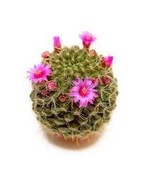 cactus flor